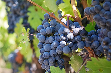purple grapes in a Texas vineyard